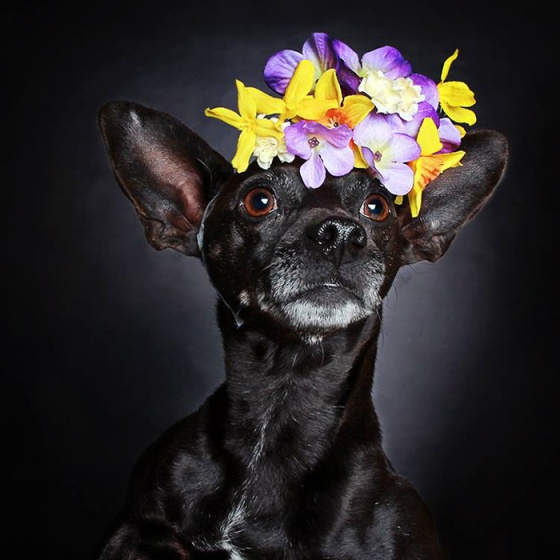 black-dog-portraits-floral-crown-guinnevere-shuster-3